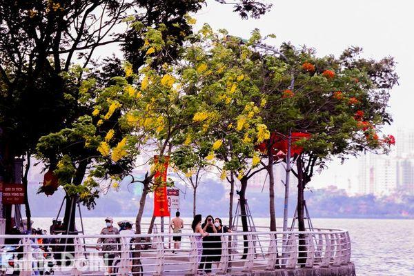 Hà Nội: Muồng hoàng yến phủ sắc vàng tươi quanh hồ Tây