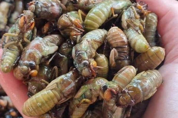 Ăn nhộng ve sầu dễ bị ngộ độc