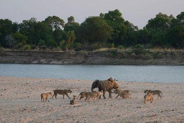 Chú voi thoát móng vuốt của 12 con sư tử trong gang tấc