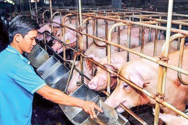 Ngành chăn nuôi điêu đứng vì lệ thuộc nguồn cung thức ăn