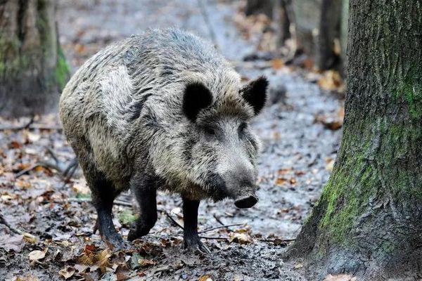 Đàn lợn rừng vây người phụ nữ, 'trấn lột' đồ ăn