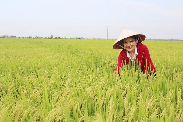 Niềm vui được mùa lúa của nông dân Quảng Trị