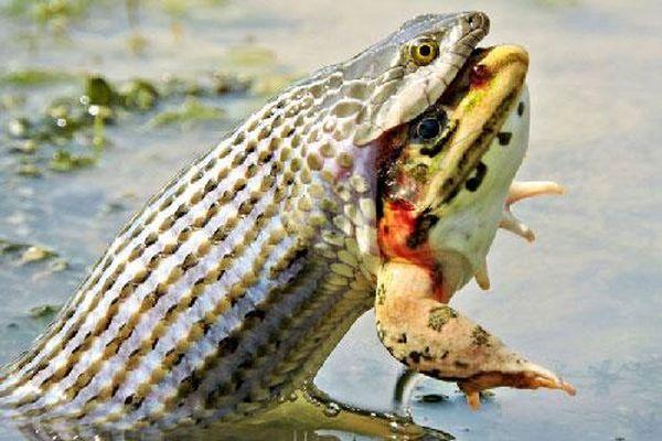 Cận cảnh màn 'xử tử' ễnh ương của rắn nước