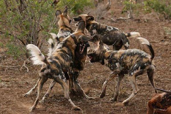 Cận cảnh chó hoang châu Phi 'hỗn chiến' giành mồi