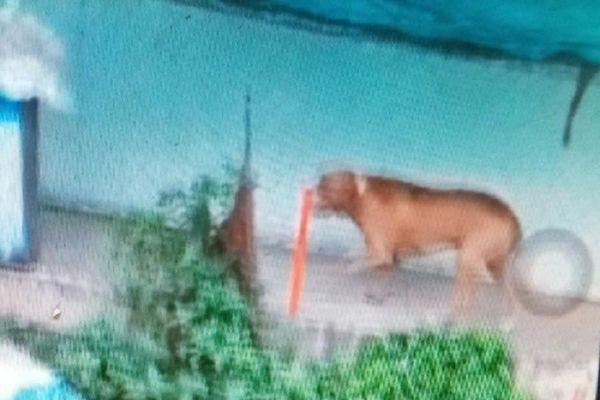 Chó cắn chết người, trách nhiệm của chủ nuôi ra sao?