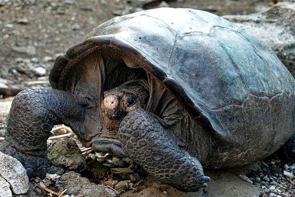 Bất ngờ tìm thấy rùa khổng lồ tuyệt chủng cách đây 100 năm