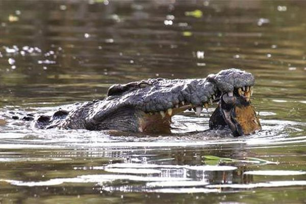 Xem rùa thoát chết khỏi hàm cá sấu trong gang tấc
