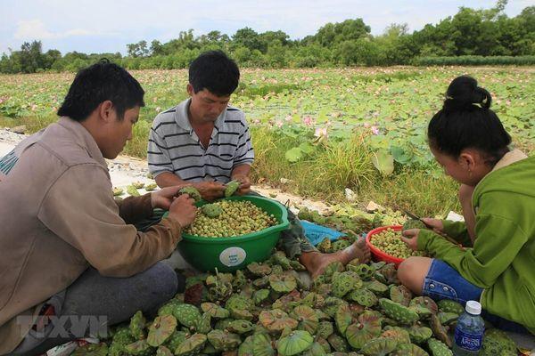 Bảo tồn giống, phát triển bền vững nghề trồng sen ở Thừa Thiên-Huế