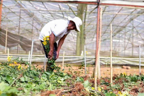 Giá hoa Đà Lạt giảm mạnh, người trồng nhổ bỏ hàng loạt