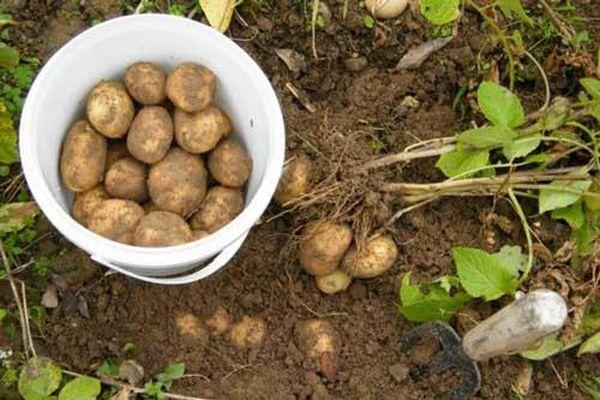 Mẹo trồng khoai tây trong chậu cho củ vừa to vừa bở