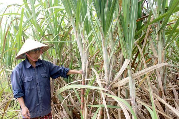 Phát triển ngành mía đường trong thời hội nhập