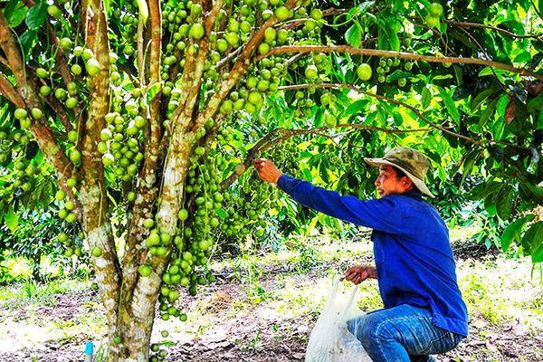 Trồng bưởi da xanh kết hợp cây dâu da: Mô hình mới ở Khánh Vĩnh
