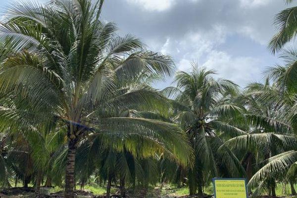 Hoàn thiện quy trình sản xuất giống dừa Sáp: Đáp ứng nhu cầu ngày càng lớn của thị trường