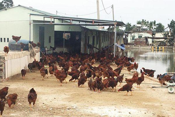Đảm bảo an toàn dịch bệnh trên đàn gia súc gia cầm: Vẫn nhiều việc phải làm