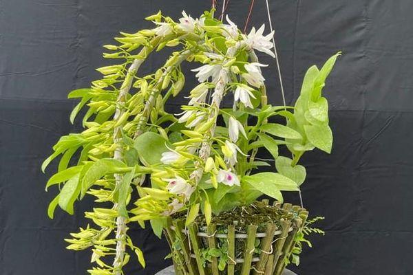 Một số giải pháp lành mạnh hóa thị trường hoa lan đột biến trên địa bàn TP. Hà Nội