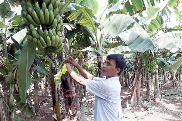 Phát triển vùng trồng chuối hướng đến xuất khẩu