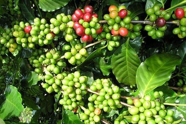 Giá cà phê hôm nay 12/6: Trong nước tăng cùng sàn London, xuất khẩu cà phê thế giới đồng loạt giảm