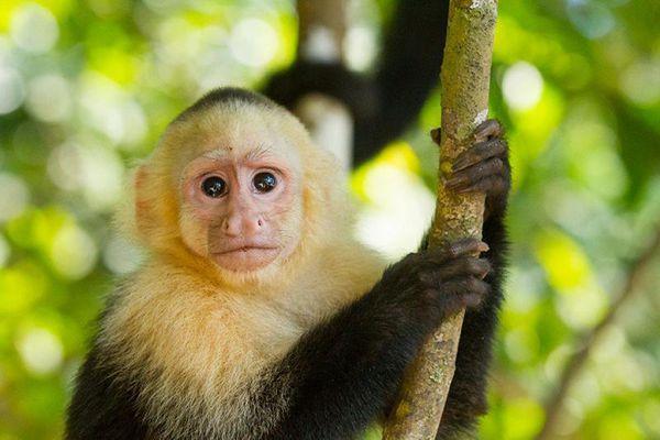Khỉ thầy tu – Tìm hiểu về loài khỉ thông minh nhất thế giới