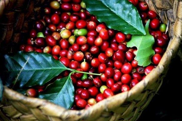 Giá cà phê đi ngang phiên cuối tuần