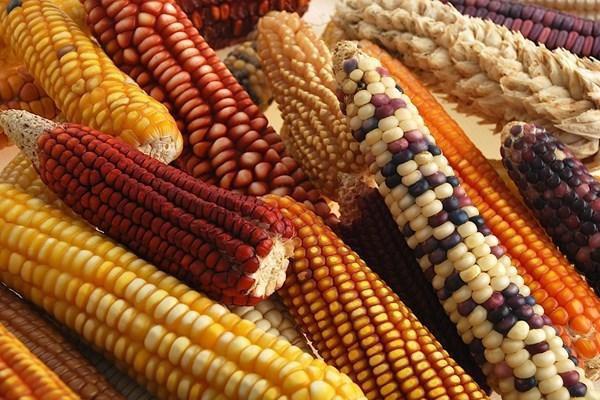 Mexico dự định cấm sử dụng ngô biến đổi gen trong thức ăn chăn nuôi
