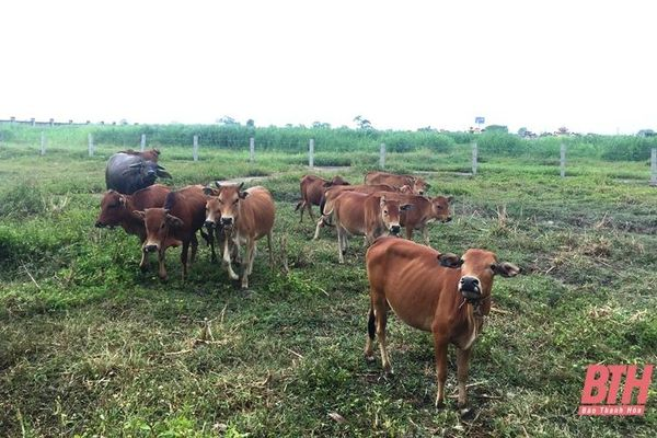 44 xã của 15 huyện đã công bố hết dịch Viêm da nổi cục trên trâu, bò