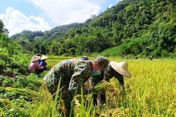 Bộ đội Đồn Biên phòng A Pa Chải gặt lúa giúp dân
