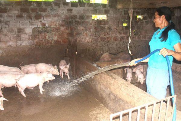 Chủ động phòng dịch tả lợn châu Phi