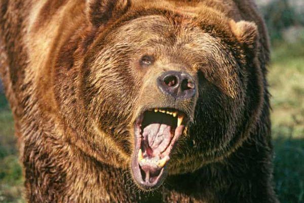 Người đàn ông Slovakia bị gấu vồ chết trong rừng