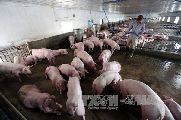 Trung Quốc kêu gọi người chăn nuôi lợn giữ sản lượng ở mức hợp lý