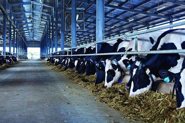 Chăn nuôi bò sữa Việt Nam vươn tầm thế giới