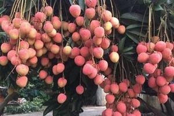 Vải đang rộ mùa, chọn thế nào để tránh được quả sâu đầu?