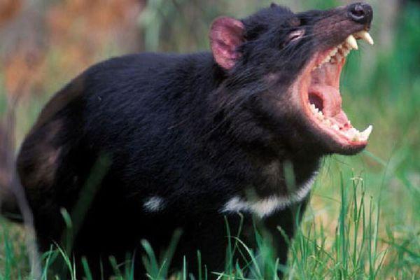 Thế giới kỳ bí của quỷ Tasmania, 'sát thủ' có túi lớn nhất thế giới