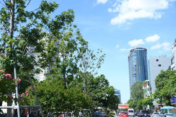 Hàng phong lá đỏ ở Hà Nội phải di chuyển để tránh nóng