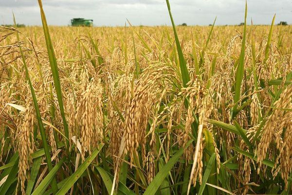 Giá lúa gạo hôm nay 20/6: Cuối tuần, giá lúa gạo đi ngang