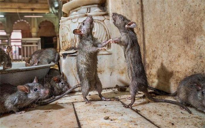 Bất ngờ với bức ảnh chuột 'khiêu vũ' tại ngôi đền Ấn Độ - Doanh Nghiệp Việt  Nam