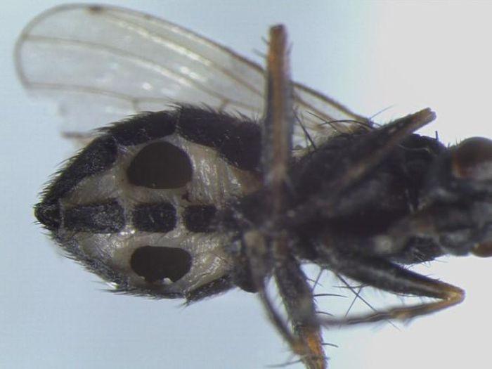 Phát hiện loài nấm ăn thịt biến ruồi thành 'xác sống'