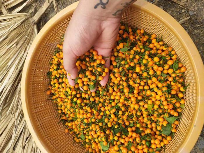 Loại ớt ở nước ngoài bán nửa tỷ/kg, trong nước lại rẻ bất ngờ