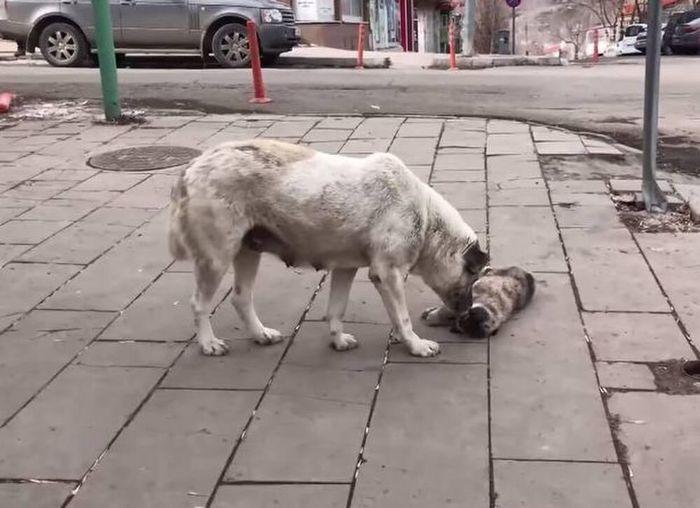Tận mắt nhìn thấy con bị xe tông chết, chó mẹ làm hành động này khiến ai cũng rơi nước mắt