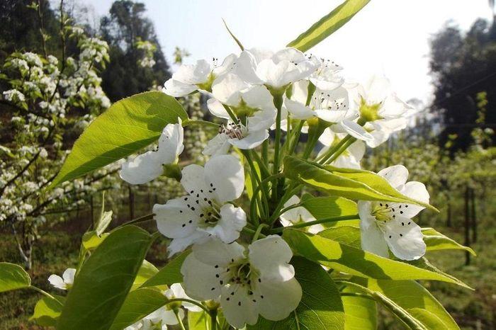 Du khách đổ về ngắm hoa lê trắng Bắc Hà dịp 8-3