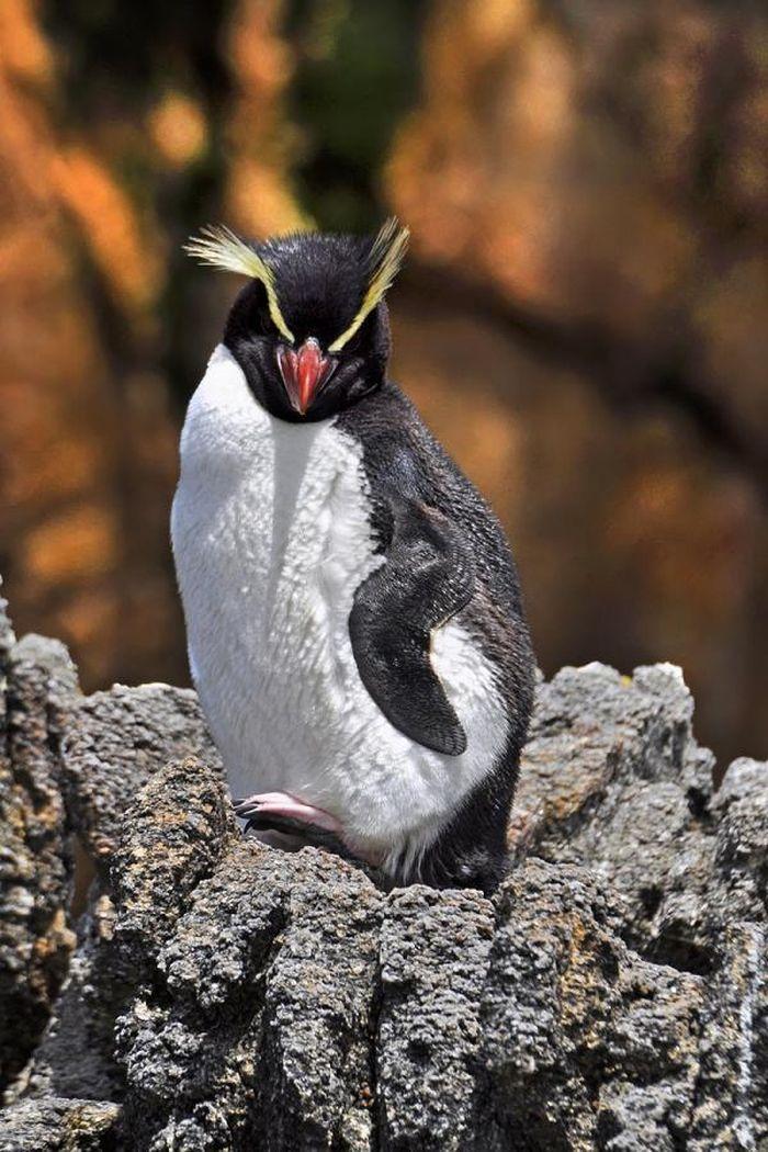 Loài chim cánh cụt dành 3 tiếng mỗi ngày chỉ để… tắm