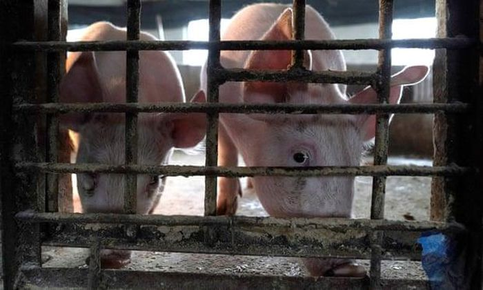 Giới chuyên gia: Dịch tả lợn có thể là nguyên nhân làm bùng phát COVID-19