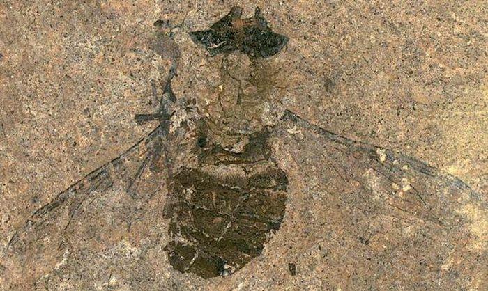 Kinh ngạc bữa ăn cuối cùng trong bụng con ruồi 47 triệu năm tuổi