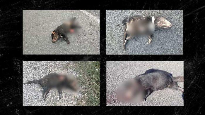 Phát hiện hàng loạt quỷ Tasmania chết bí ẩn tại Australia