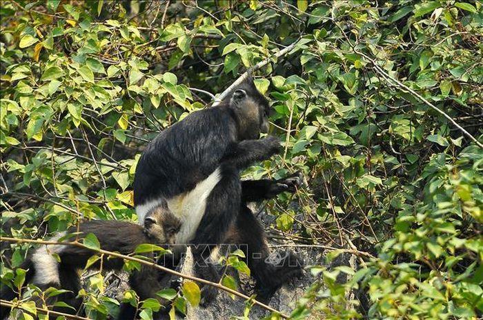 Bảo tồn quần thể Voọc mông trắng tại Hà Nam
