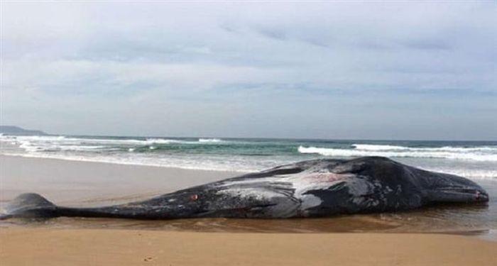 Vết cắn chí mạng của mực khổng lồ khiến cá voi bỏ mạng