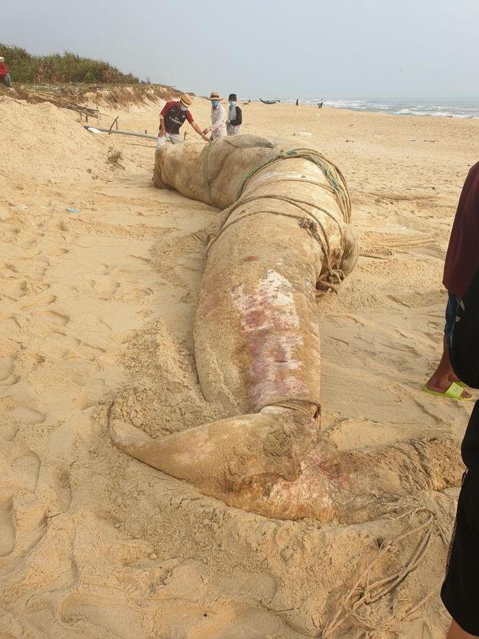 Xác cá voi 'khổng lồ' trôi vào bờ biển Quảng Nam