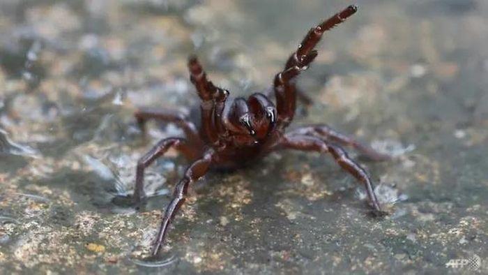 Sau mưa lũ lịch sử, Australia cảnh báo sự xâm lăng của loài nhện độc nhất thế giới