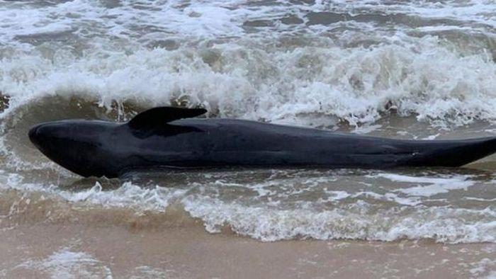 Phú Yên: Một con cá voi nặng 300kg dạt vào bờ biển Tuy Hòa