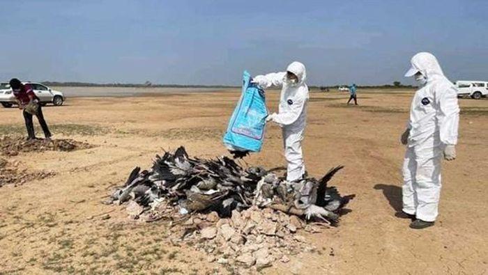 Campuchia: Hơn 1.700 chim hoang dã chết vì cúm gia cầm tại Prey Veng