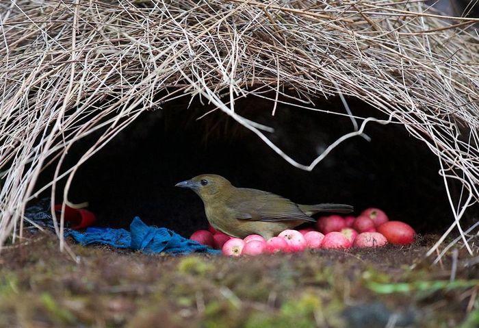 Loài chim có biệt danh 'Thánh tán gái' của vương quốc động vật
